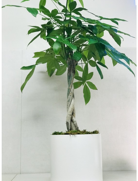 PACHIRA TRESSÉ ( MONEY TREE)