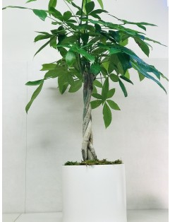 PACHIRA TRESSÉ ( MONEY TREE)