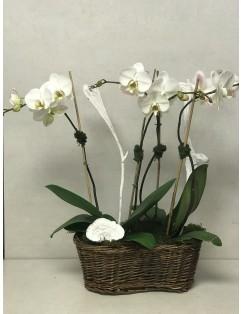 DOUBLE PHALAENOPSIS PLANTS