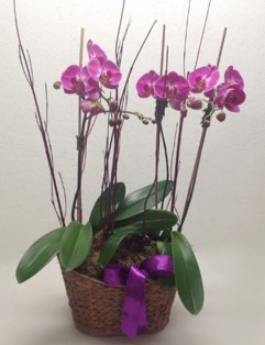 DOUBLE PHALAENOPSIS PLANTS