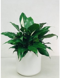 SPATHIPHYLLUM - PEACE LILLY PLANT